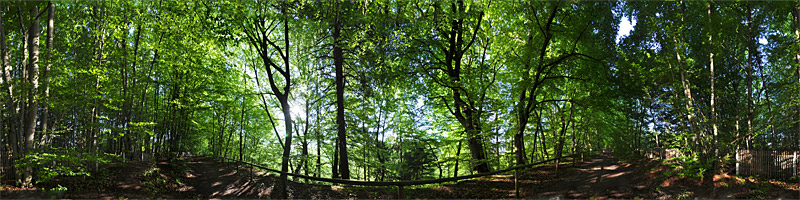 Buchen Morgenlicht Beech Trees at Morning Light, Isarhochufer, near Munich - Panorama